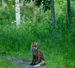 foxAngermanland4