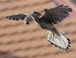 Falcons prey