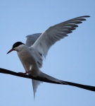 Tern on wire