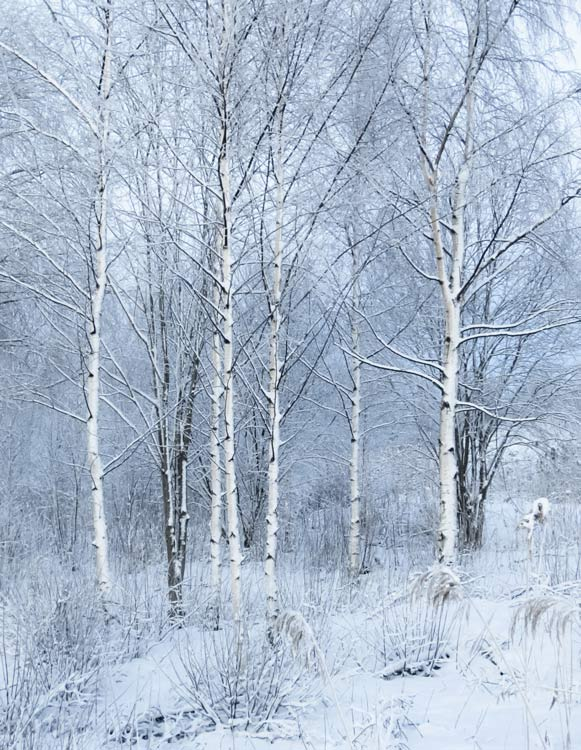 Birch-trees-in-winter
