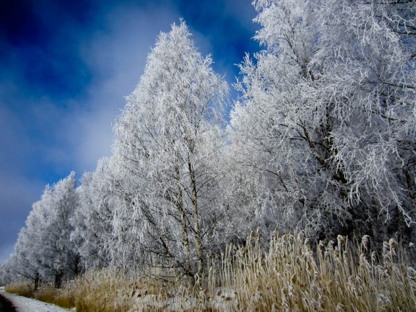 Winter birch trees I