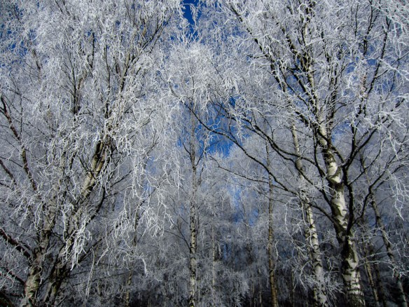 Winter birch trees II